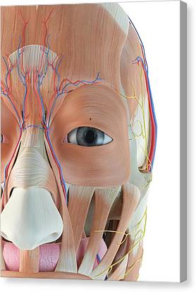 Anatomy Of Human Face Canvas Print by Sciepro