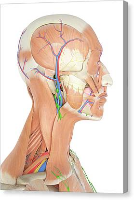 Anatomy Of Human Head Canvas Print by Sciepro