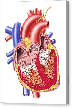 Anatomy Of Human Heart, Cross Section Canvas Print by Leonello Calvetti