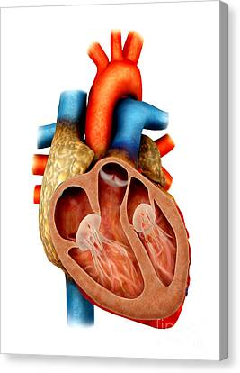 Anatomy Of Human Heart, Cross Section Canvas Print by Stocktrek Images