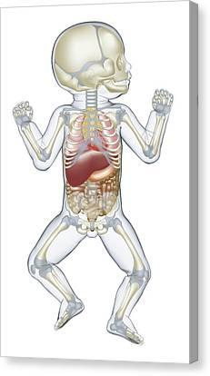 Anatomy Of Human Newborn Baby Canvas Print