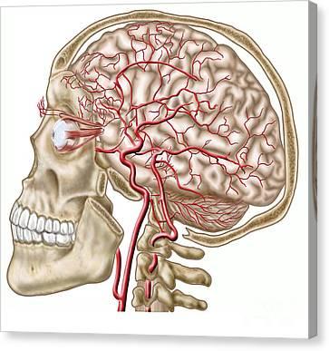 Anatomy Of Human Skull, Eyeball Canvas Print by Stocktrek Images
