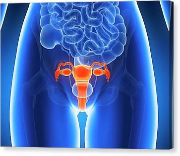 Anatomy Of Human Uterus Canvas Print by Sebastian Kaulitzki