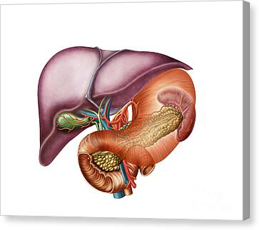 Anatomy Of Liver, Antero-visceral View Canvas Print by Stocktrek Images