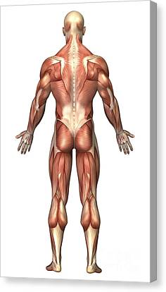 Anatomy Of Male Muscular System, Back Canvas Print by Stocktrek Images