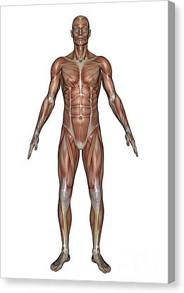 Anatomy Of Male Muscular System, Front Canvas Print by Elena Duvernay