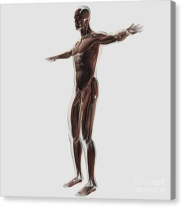 Anatomy Of Male Muscular System, Side Canvas Print by Stocktrek Images