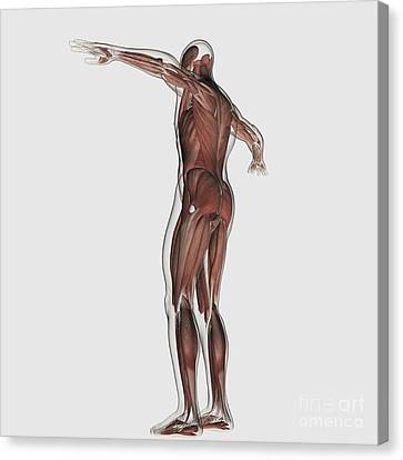 Anatomy Of Male Muscular System Canvas Print by Stocktrek Images