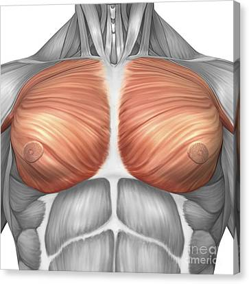 Anatomy Of Male Pectoral Muscles Canvas Print by Stocktrek Images