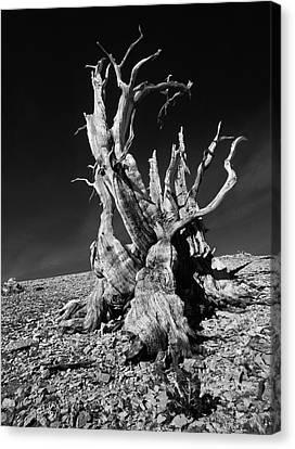 Ancient Bristlecone Pine Tree Clings Canvas Print