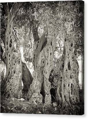 Ancient Olive Canvas Print by Paul Cowan