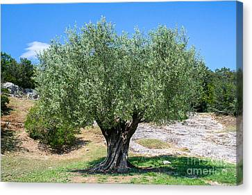 Ancient Olive Tree Canvas Print by SnapHound Photography