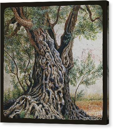 Ancient Olive Tree Trunk Canvas Print