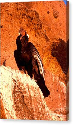 Condor Canvas Print - Andean Condor by Art Wolfe