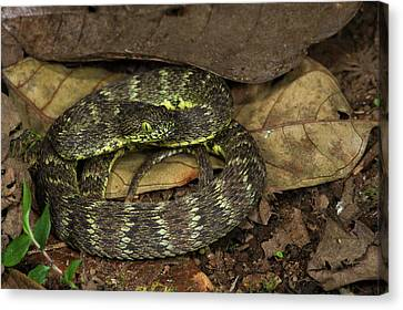 Andean Forest-pitviper(bothriopsis Canvas Print