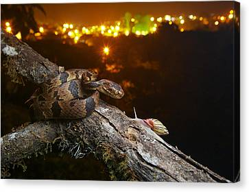 Andean Snail-eater Female And Land Canvas Print