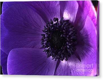 Anemone Canvas Print by Rebeka Dove