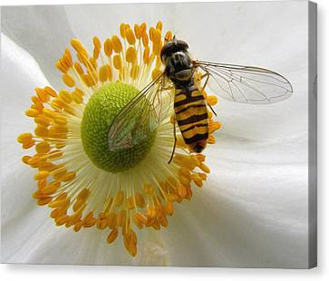 Anemone With Visitor Canvas Print by Jacqi Elmslie