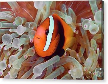 Anemonefish Among Poisonous Tentacles Canvas Print by Jaynes Gallery