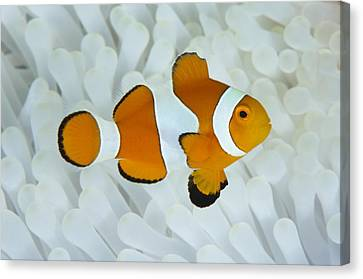 Anemonefish In Bleached Anemone Canvas Print by Science Photo Library
