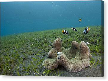 Anemonefish In Seagrass In Indonesia Canvas Print by Science Photo Library