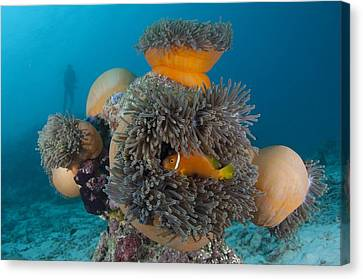 Anemonefish Sheltering In Anemone Canvas Print by Science Photo Library
