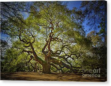 Angel Oak Canvas Print by Carrie Cranwill