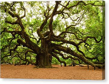Live Oaks Canvas Print - Angel Oak Tree 2009 by Louis Dallara
