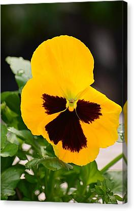 Angel Winged Pansy Canvas Print by Maria Urso