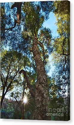 Angeles Sun -beautiful Tree With Sunburst In Angeles National Forest In The San Gabriel Mountails Canvas Print by Jamie Pham