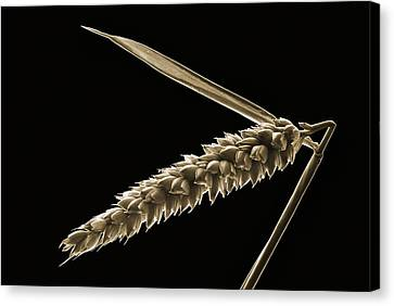 Angled Wheat Canvas Print by Terence Davis