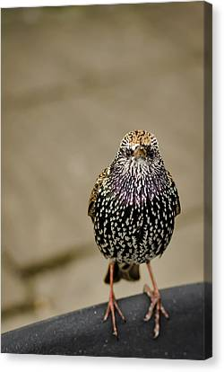 Angry Bird Canvas Print by Heather Applegate