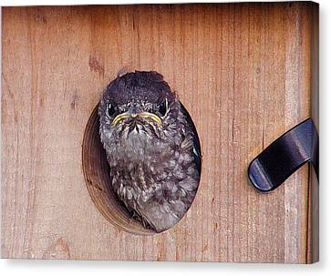 Angry Bird Canvas Print by Shannon Story