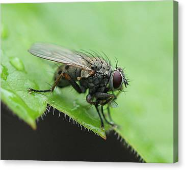 Angry Fly Canvas Print by Bruce  Morrell