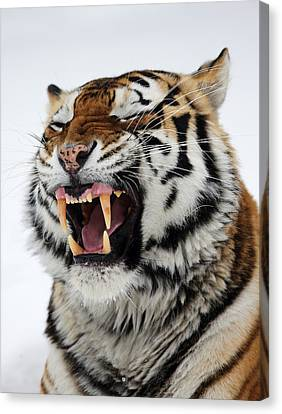 Angry Siberian Tiger Portrait Canvas Print by Alex Sukonkin