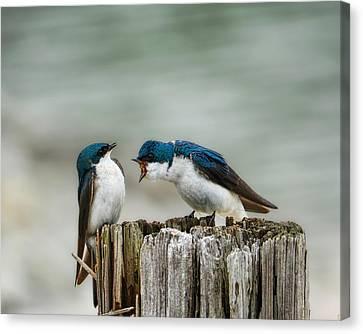 Angry Swallow Canvas Print by Jai Johnson