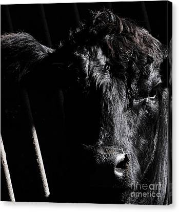 Angus Appeal Canvas Print