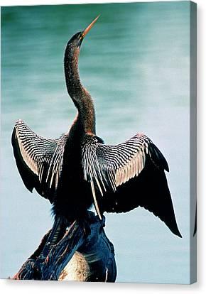 Anhinga Canvas Print - Anhinga Anhinga Anhinga Drying Feathers by Millard H. Sharp
