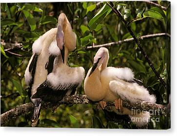Anhinga Chicks Canvas Print by Ron Sanford