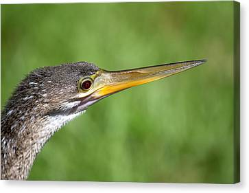 Anhinga In The Everglades Florida Canvas Print by Mr Bennett Kent