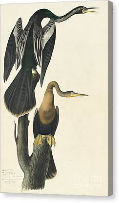 Anhinga Canvas Print by Celestial Images