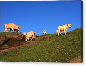 White Cows At The Cliffs Of Moher Canvas Print by Aidan Moran
