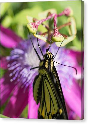 Canvas Print featuring the photograph Anise Swallowtail Butterfly And Passionflower by Priya Ghose