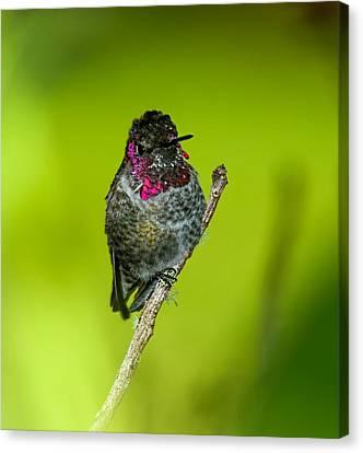 Anna's Hummingbird 2014 Canvas Print