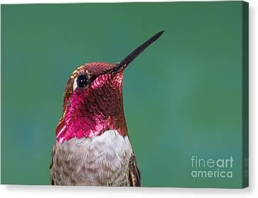 Annas Hummingbird Canvas Print by Anthony Mercieca