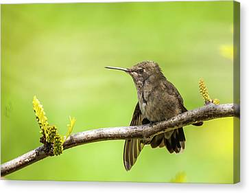 Michael Canvas Print - Anna's Hummingbird At Rest by Michael Qualls