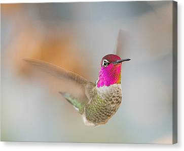 Anna's Hummingbird Canvas Print by Doug Herr