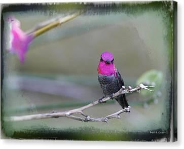 Anna's Hummingbird - Male Canvas Print by Angela A Stanton