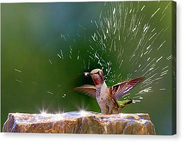 Anna's Hummingbird Taking A Shower Canvas Print by Tom Norring