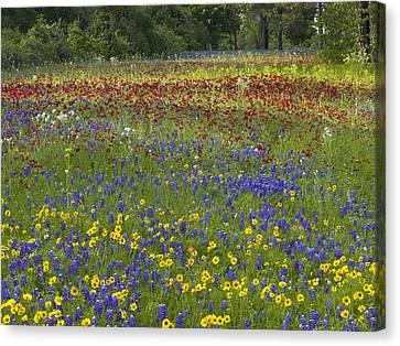 Annual Coreopsis Texas Bluebonnet Canvas Print